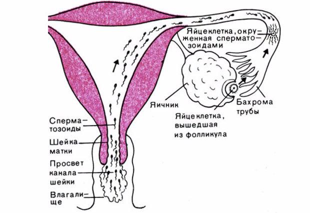 Через сколько эмбрион попадает в матку