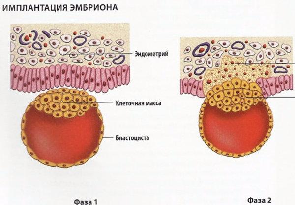 Секс может помещать имплантации эмбриона