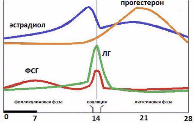 Овуляционная фаза какой день цикла 31